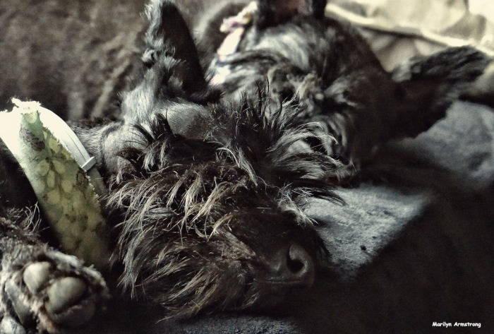 72-Closeup-Sleeping-SCOTTIES-080216_02