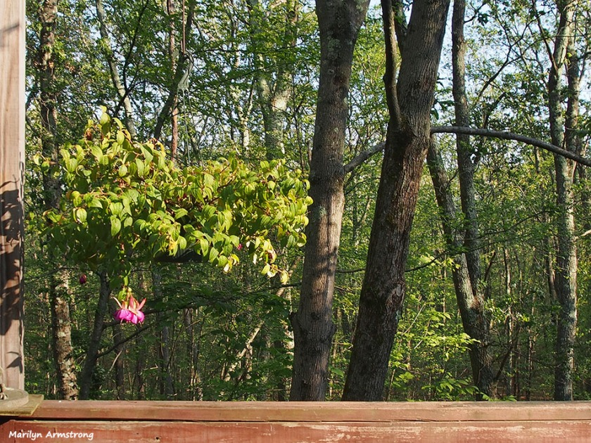 72-fuchsias-woods-late-august-deck-082016_003