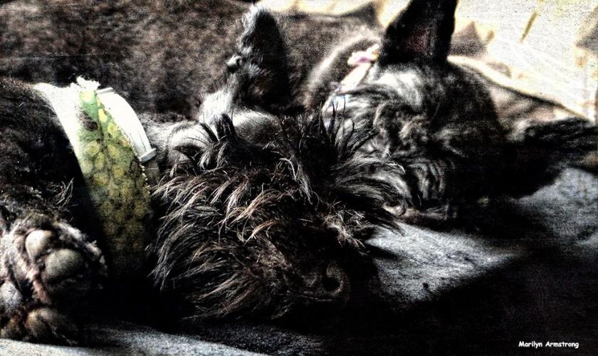 Profoundly sleeping Scotties