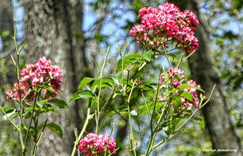 72-Hedge-Roses-Garden-080816_01