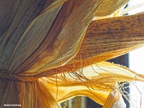 Dry husks of Indian corn against a sunny window