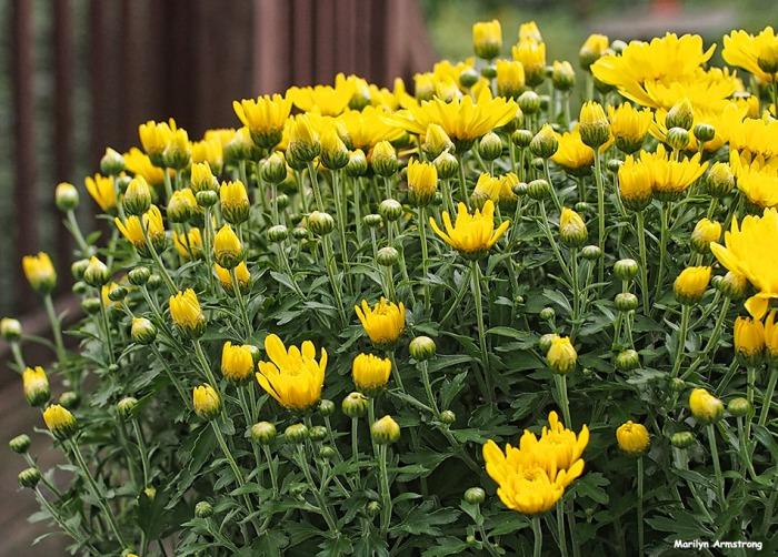 72-chrysanthemum-yellow-09202016_07