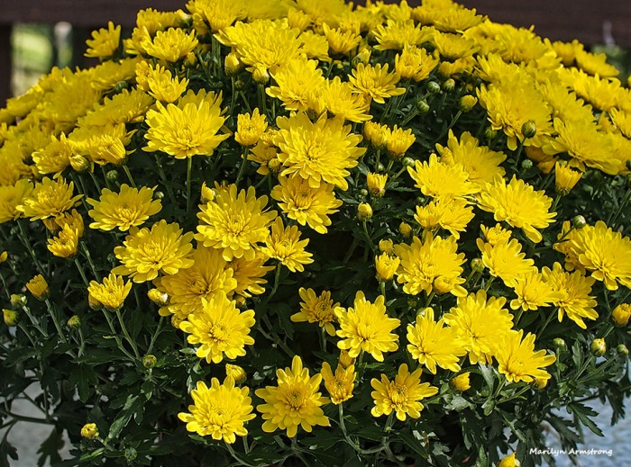 72-chrysanthemums-09262016_01