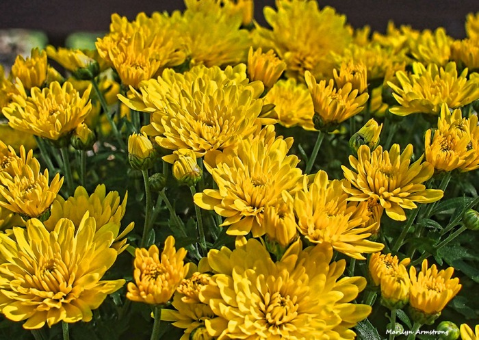 72-chrysanthemums-09262016_05