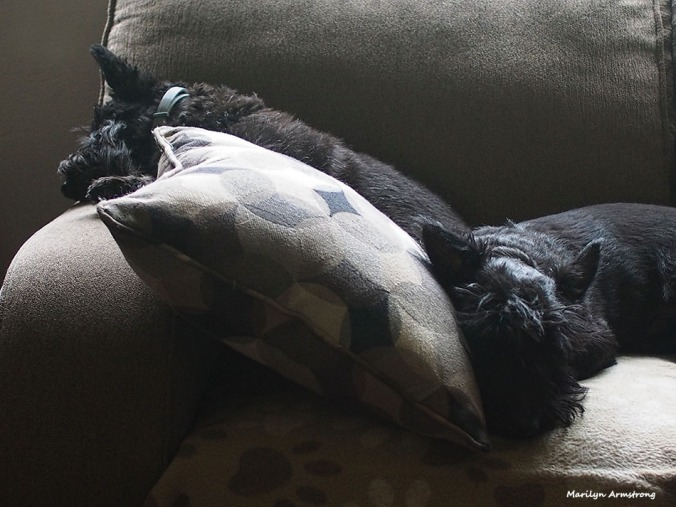 A sleepily low key day of drizzle for the two Scotties. Bonnie and Gibbs taking a well-earned (?) rest from guarding the family home from ... well ... everything!