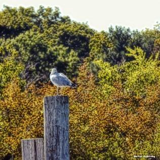 72-lone-seagull-autumn-09222016_038