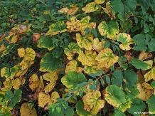 72-vines-first-autumn-color-09202016_09