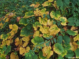 72-vines-first-autumn-color-09202016_09