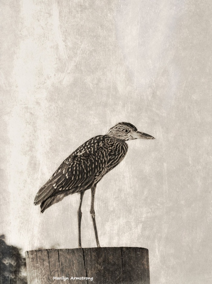 72-bw-black-crowned-night-heron-juvenile-antique-09222016_104