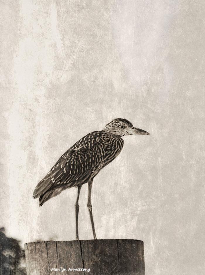 72-bw-black-crowned-night-heron-juvenile-antique-09222016_104