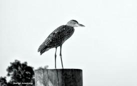 72-bw-black-crowned-night-heron-juvenile-curley-09222016_105