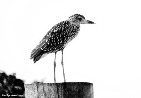 A lone Yellow-crowned-night-heron