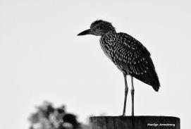 72-bw-black-crowned-night-heron-juvenile-curley-09222016_108