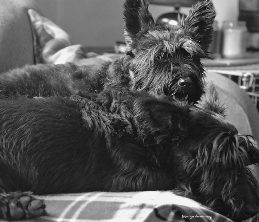 72-bw-two-scotties-10172016_09