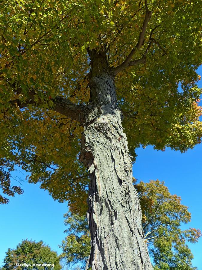 72-tall-old-tree-cemetary-ma-10072016_133