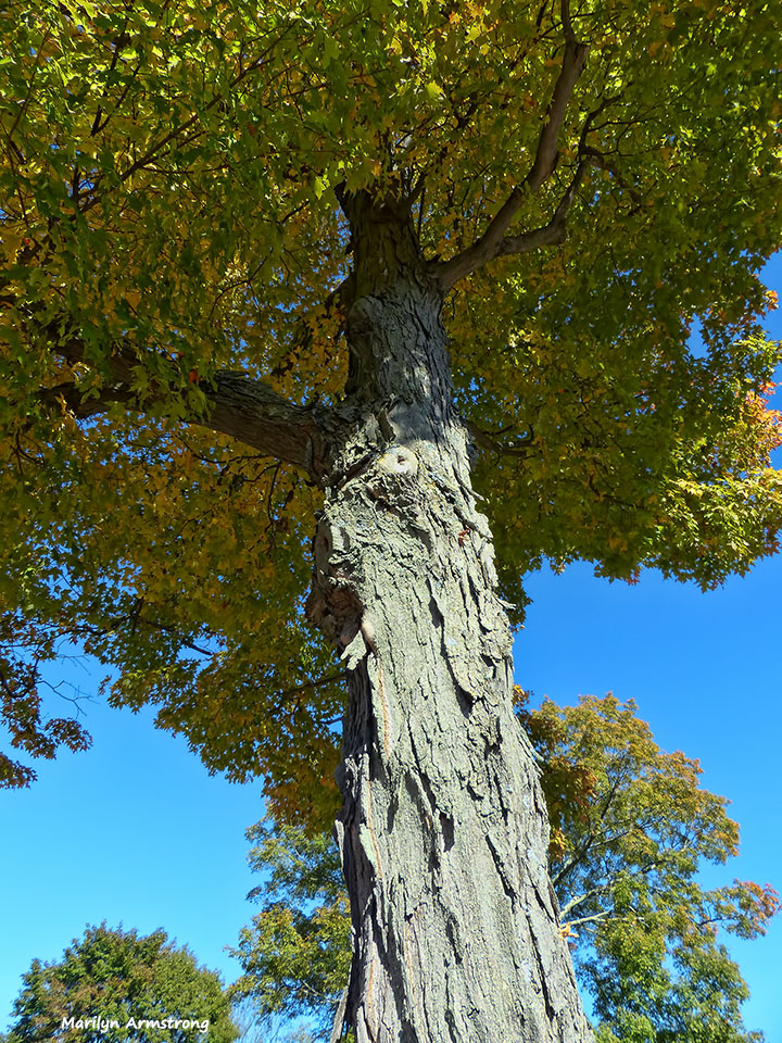 72-tall-old-tree-cemetary-ma-10072016_133