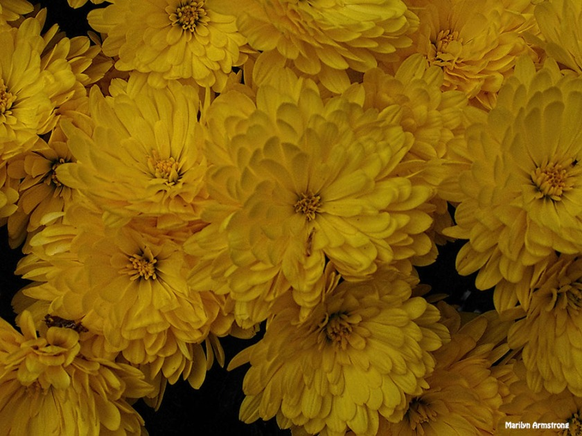 72-yellow-mums-10202016_03