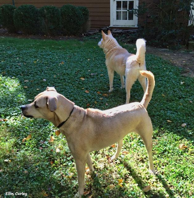 barking-dogs-Ellin-Curley