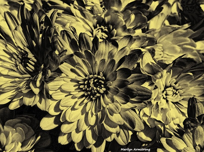 Ambrotype Chrysthemums