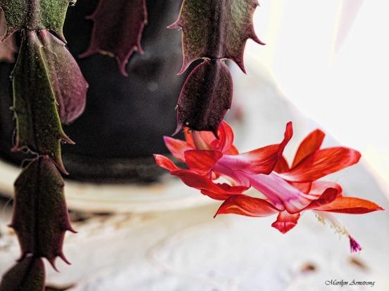 72-christmas-cactus-macro-21112016_031