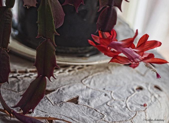72-christmas-cactus-macro-21112016_032