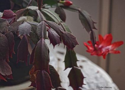 72-christmas-cactus-macro-21112016_034