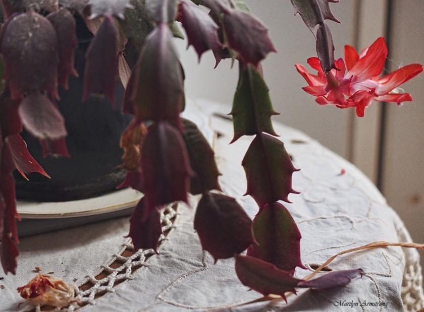 72-christmas-cactus-macro-21112016_036