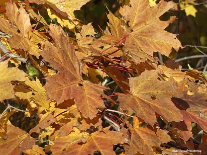 72-maple-leaves-mumford-dam-ma18112016_132
