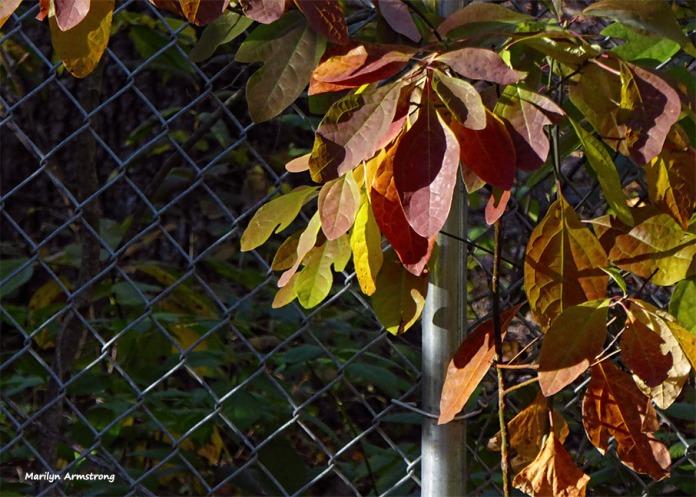 72-november-leaves-31102016_21