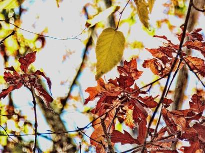 72-red-yellow-foliage-08112016_26