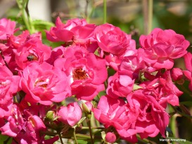 72-rose-bee-election-day-08112016_12