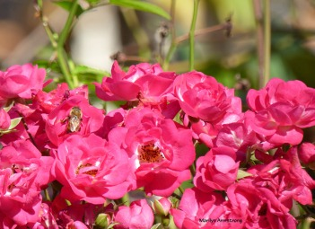 72-rose-bee-election-day-08112016_13