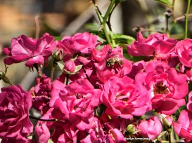 72-rose-bee-election-day-08112016_14