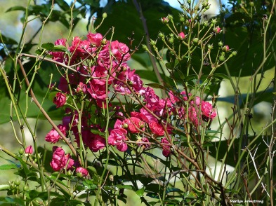 72-roses-november-02112016_003