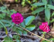 72-roses-november-02112016_017