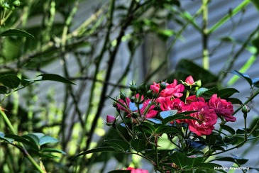 72-roses-november-02112016_023