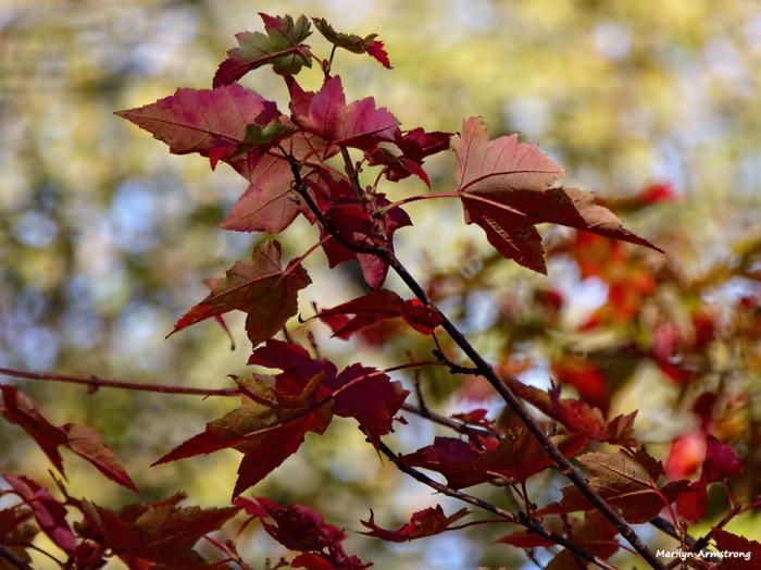 72-scarlet-maple-november-leaves-31102016_26