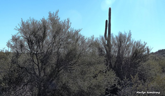 180-saguaro-ironwood-superstition-011316_225