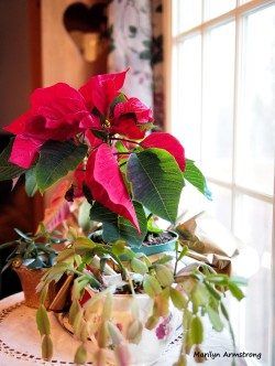 300-poinsettia-xmas-eve-24122016_06