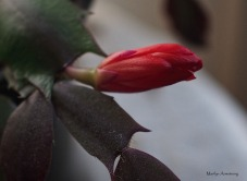 300-red-bud-cactus-dr-28112016_009
