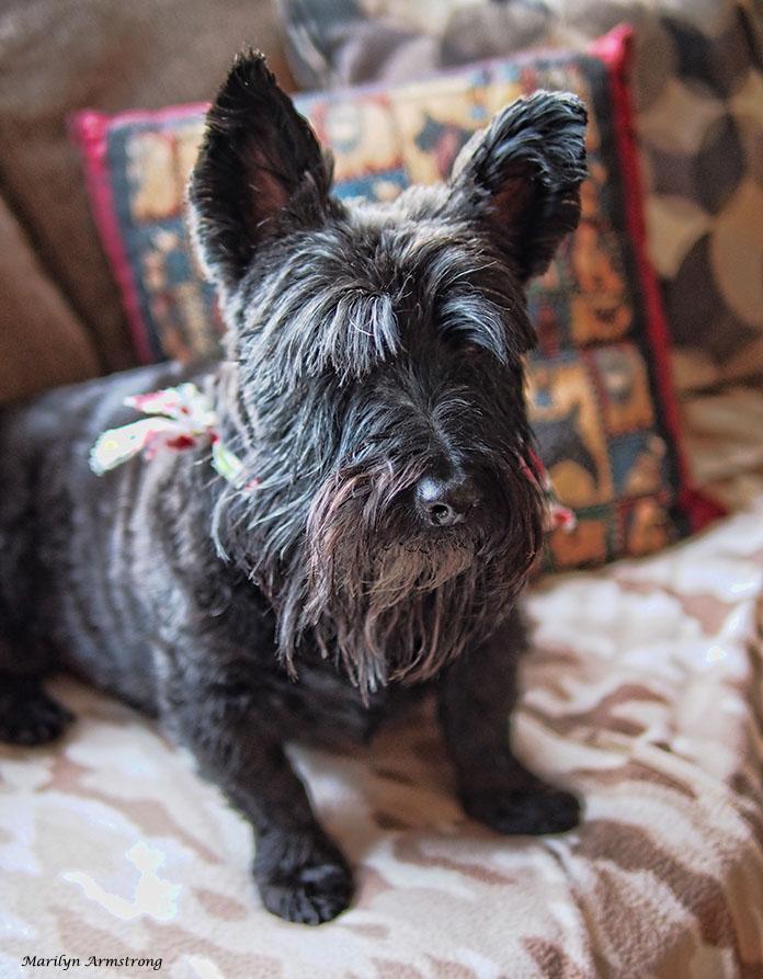 72-bonnie-sofa-dog-13122016_018