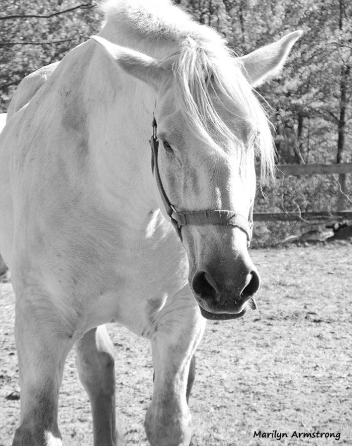 72-bw-percheron-horse-portrait_06