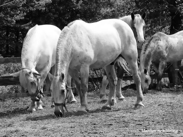 72-bw-percheron-horses-corral_03