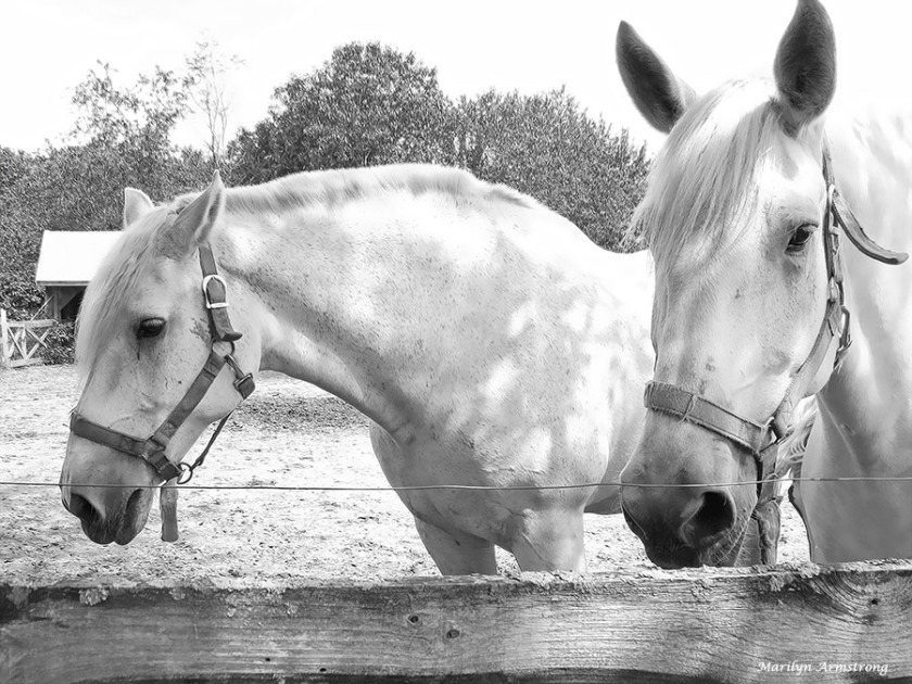 72-bw-percheron-horses_13