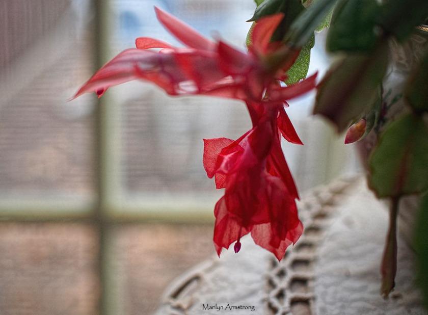 72-christmas-cactus-macro-11122016_002