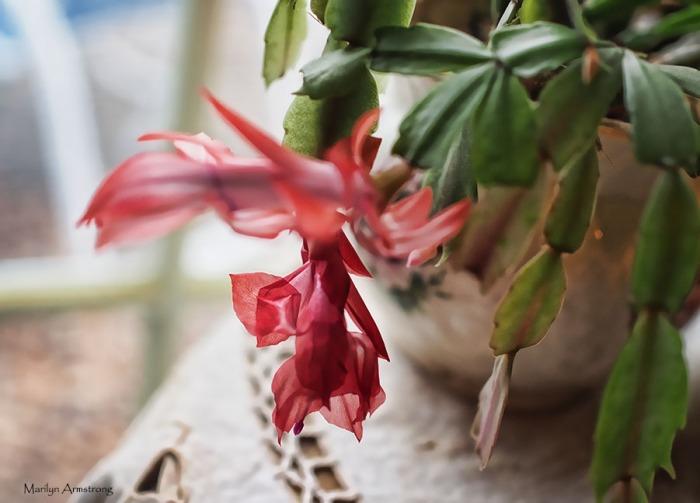 Christmas cactus blooming