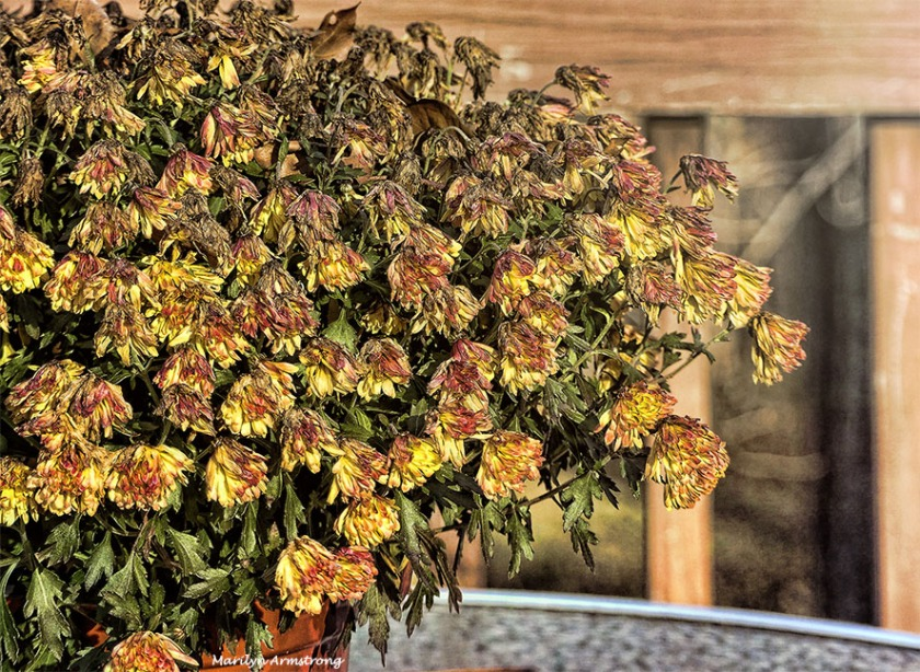 R.I.P. for chrysanthemums
