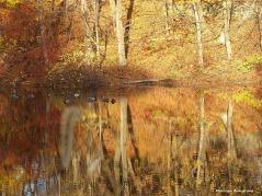180-golden-lackey-dam-mallards_024
