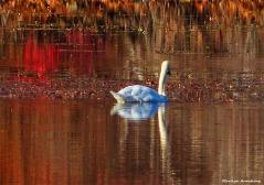 180-golden-lackey-dam-swan_010