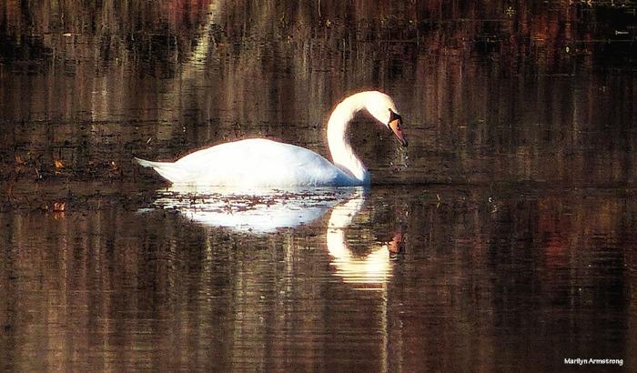 180-golden-lackey-dam-swan_021